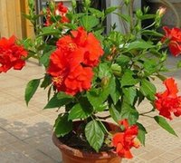 Wholesale 2000pcs a hibiscus flower seed pure red color