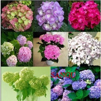 Wholesale Elegant Hydrangea Flower seeds Hydrangea Evergreen Seeds Potted planting seeds DIY Garden Plant Bonsai Viburnum macrocephalum styles