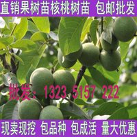 Wholesale Walnut seedlings potted planting walnut seedlings of walnut seedlings year results of shipping Xiangling walnut