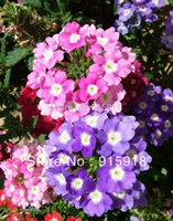 Wholesale 100 MIXED COLORS VERBENA Hortensis Flower Seeds