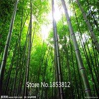 bamboo tree plant - 50PCS PACK Genuine bamboo Seeds Bonsai Plants Garden tree Seeds