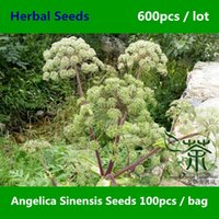 Wholesale Traditional Medicine Angelica Sinensis Seeds Family Apiaceae Dong Quai Herb Seeds Chinese Angelica Female Ginseng Seeds