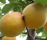 apricots fruit - 300pcs a apricot fruit seed nice yellow color real