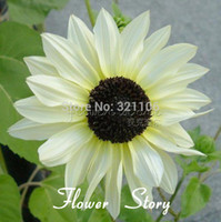 sunflower seed - 100 Sunflower quot Italian White quot Helianthus annuus seeds DIY Potted or yard flower plant