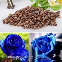 Wholesale Flower seeds Hottest pack Rose Flower Seeds Increased Blue Enchantress Blue Rose Home Garden