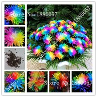 Wholesale 100PC Japan Rainbow Chrysanthemum Flower Seeds rare color new arrival DIY Home Garden bonsai flower plant