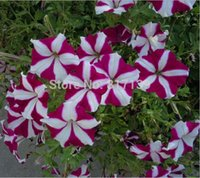 Wholesale Diy Home Garden Plant Seeds Real Fresh Striped Wave Star Petunias Flower Seeds GREAT FOR CONTAINERS