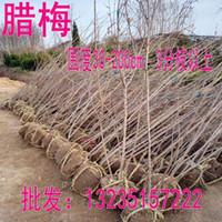 Wholesale The sale of La Meishu La Meimiao al direct wintersweet tree Lamei specifications price low tufted wintersweet