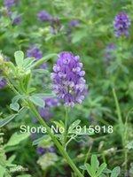 alfalfa seed - Purple Alfalfa seeds seeds