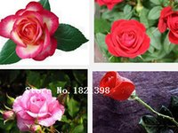 Organic Grain - 100 Grain c Seeds Charming Chinese Flower Seeds Bonsai Plants for Garden Price