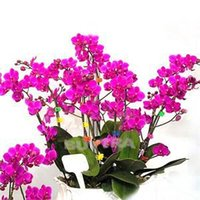 Wholesale 2014 New Novetly Blooming Plants Flower Seeds Beautiful Phalaenopsis Orchids Seeds Bonsai