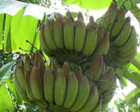 banana japanese - 2000pcs a Musa Dwarf Nam Wa Banana seed with japanese pine tree seed as gift