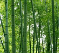 bamboo for gardens - fresh giant moso bamboo seeds for DIY home garden Household items