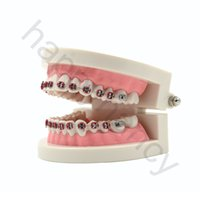 Cheap teeth model Best dental model