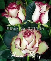 Wholesale Swept Away Rose Seeds Fire Ice Rose Beautiful DIY Home Garden Flower