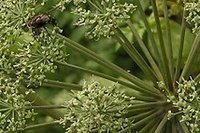 angelica seeds - 1000pcs a Angelica dahurica tree seed price is for