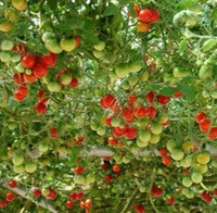 Cheap Seeds Best tomato tree