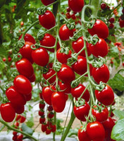 fruits and vegetables - Milk red tomato seeds cherry tomatoes tomato seeds organic fruits and vegetables Seed particles