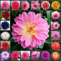 Wholesale dahlia Multi Colored Dahlia Seeds bonsai flower plant seeds not the dahlia bulbs