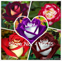 Wholesale 250 New Rose Seeds Different Colors Rare Osiria Rose Professional Packing Heirloom Chinese Rose Flower Seeds Mysterious Gift A5