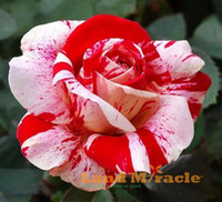 Wholesale 100 seeds pack Rare Black Dragon Hybrid Rose Seeds Heirloom Red and White Rose flower seeds Planting for DIY home garden Bonsai Plant