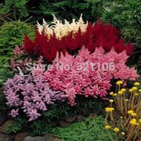 astilbe flower - MIXED COLORS ASTILBE BUNTER Simplicifolia Shade Flower Seeds Gift