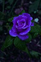beautiful roses - Colourful Perennials Beautiful Flowering Roses Flower Seeds Seeds Parcel Bonsai Home Garden