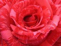 3000pcs комплект Красный темно-розовый полосой двойной цвет Роуз цветок семенной дом Сад Diy Разумные цена выбор и хорошее качество