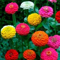 Wholesale 200 CALIFORNIA GIANT ZINNIA Seeds Organic Beautiful Bright Crisp Colors