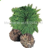 Wholesale 5pcs Resurrection Plant Rose of Jericho Dinosaur Plant Air Fern Spike Moss Live