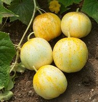 Wholesale 100 Lemon cucumber Seeds easy to grow very prolific So yummy DIY Home Garden Vegetable SS137