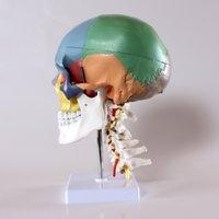 anatomical model artery - Human Skeleton Anatomical Model Product Didactic Human Skull Model with Cervical Vertebrae Nerve and Artery on Stand