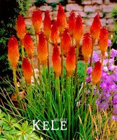 big pretty flowers - Big Promotion Kniphofia Flower Seeds red hot pokers plants So Pretty Long Blomming fiery hued flowers light XBGR0