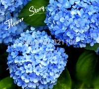 parterre - Blue Hydrangea Flower seeds long blossoming beautiful balcony or Parterre flower plant