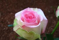 plant seeds - Pink And White Rose Seeds Pieces Seeds Per Package New Arrival Graceful Beautiful Garden Plants