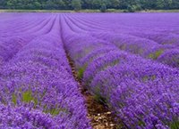 Wholesale 500pcs Easy planting Lavender seeds Easy planting balcony indoor potted flowers vanilla herb flower seed garden tools