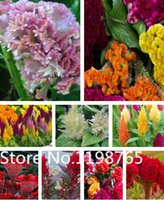 Wholesale Hot Selling Cockscomb Seeds Flower Seeds Celosia Cristata Seeds Bonsai Pot Plant Home Garden Free Shipp