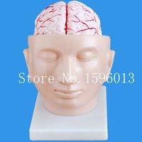 arteries head - Sales advanced brain with arteries on head model brain with arteries model parts brain model