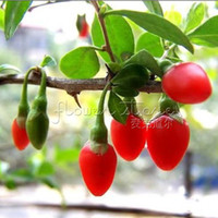 organic berries - 20 Organic HIMALAYAN TIBETAN GOJI BERRY WOLFBERRY FRUIT Bush Lycium Barbabarum Seeds TT015