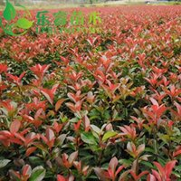 Wholesale green seedlings with seedlings Photinia Red Robin Photinia pure ball Photinia seedlings
