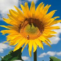 sunflower seed - 20 Mongolian Giant Sunflower Seeds impressive TT396