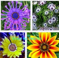 africa flowers - transvaal daisy seeds South Africa marigold multicolor mixed free flower seeds100 particles