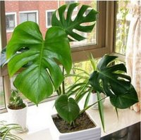 Wholesale 50 bag Monstera seeds potted seed flower seed variety complete the budding rate