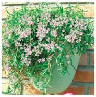 Wholesale flower seeds Hanging stars balcony potted plants plant seeds flower seeds
