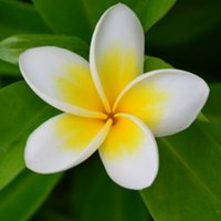 Wholesale Courtyard perennial flower tree seeds plumeria seed