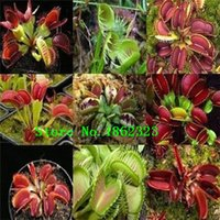 Wholesale Dionaea seeds Muscipula Giant Clip Venus Fly trap Seeds Insectivorous seed Garden Plant Seed Bonsai flower