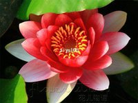 Wholesale SEEDSFlame Red Lotus Flower Seeds Gorgeous Aquatic Plants Label Lotus18