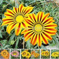 africa fruits - Flower seeds Gazania rigens potted flowers gazania seeds sunflowers Africa about particles