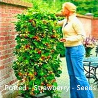 Cheap Tree -Strawberries - big 80g- pot - Seeds - potted indoor and outdoor potted plants purify the air mixing colors - Seeds -Free Shipping