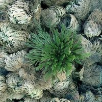 Wholesale Live Resurrection Plant Rose Of Jericho Dinosaur Plant Air Fern Spike Moss SSJ